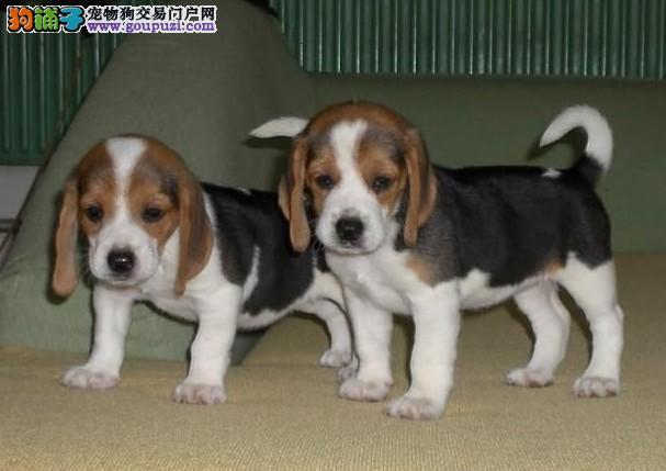人气宠物 出售高品质纯种比格犬 质量保证 完美品质