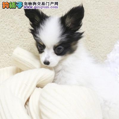 人气宠物 纯种可爱蝴蝶犬 质量保证 完美品质