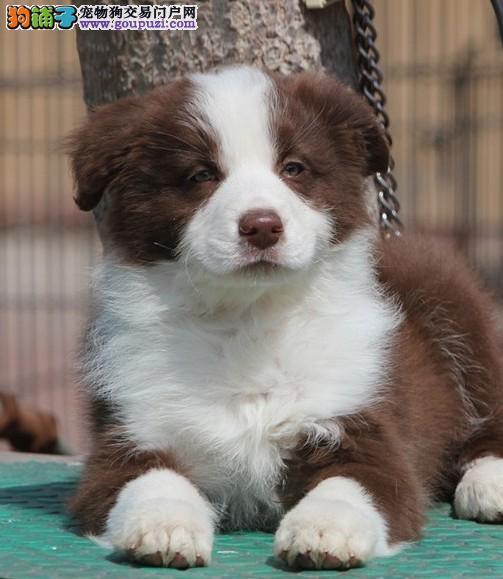 出售边境牧羊犬幼犬血统纯种边牧幼犬 高智商