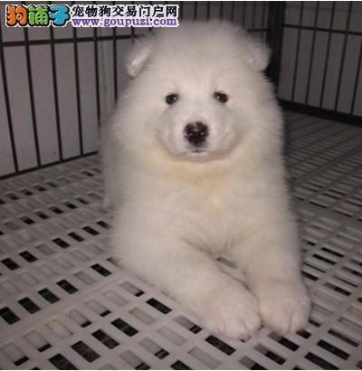 犬舍出售萨摩幼犬一窝保健康