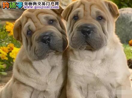 自家出售沙皮幼犬一窝保质量保健康