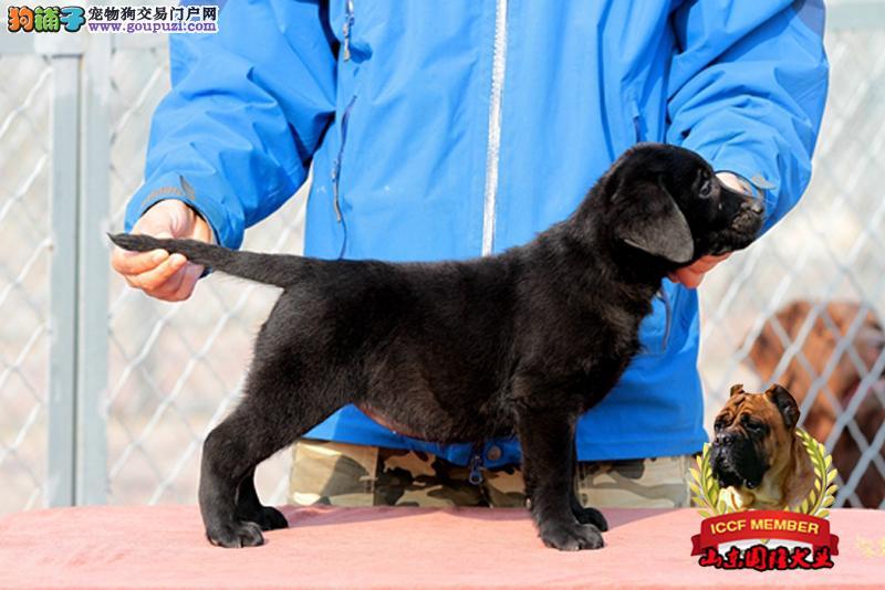 拉布拉多犬三个月拉布拉多犬价格专业犬舍繁育