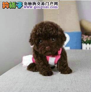 精品茶杯体,玩具体,标准体纯种泰迪宝宝出售