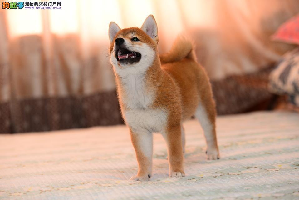 可爱的柴犬宝宝出售,包纯包健康