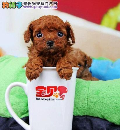 茶杯体超小犬,健康包养活签协议