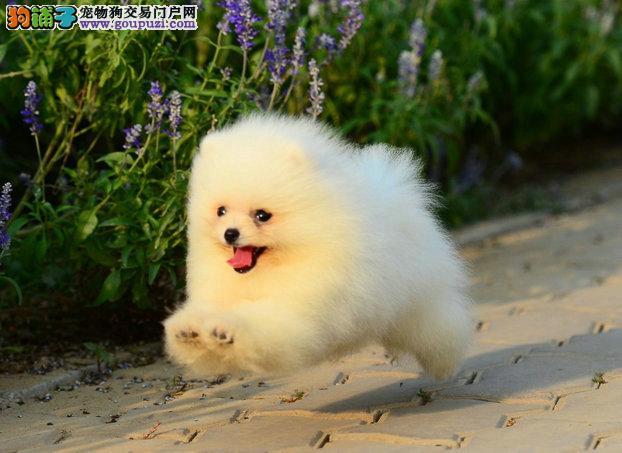 博美犬,哈多利球型博美,俊介。包纯包健康