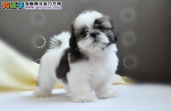 西施犬,贵族的必备狗狗,美丽动人
