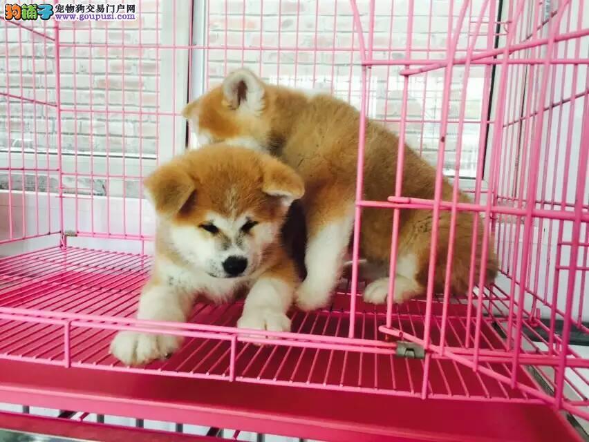冷静,优美的秋田幼犬出售,疫苗齐全包健康
