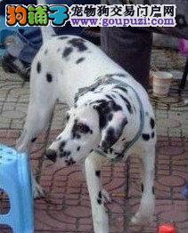 101斑点狗,聪明可爱的斑点狗宝宝出售