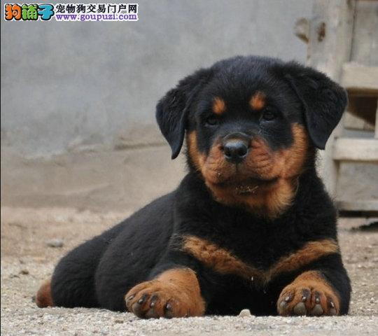 罗威纳防暴犬,包纯包建康