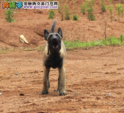 昆明犬,中国的警犬,聪明忠诚