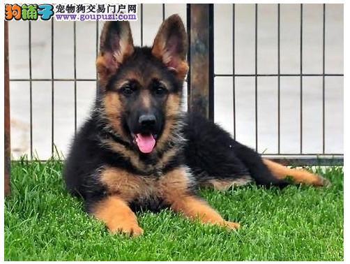 纯种健康狼犬宝宝,包养活包健康