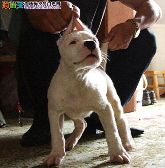 高品质杜高犬宝宝、完美品相 品质第一、等您接它回家