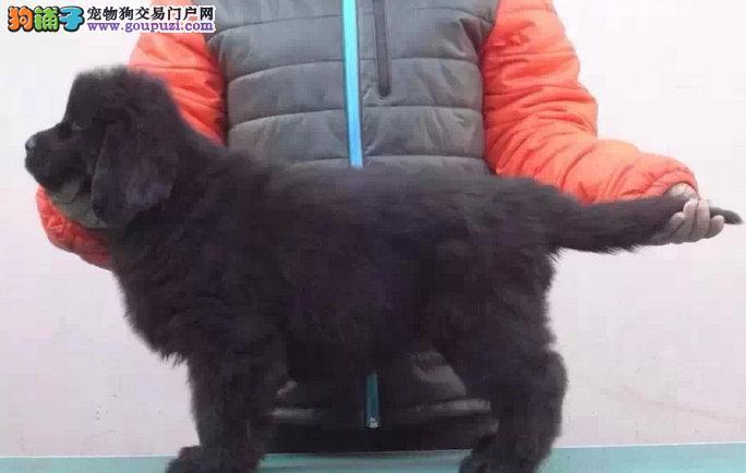 纽芬兰幼犬2 4个月多只可以选择 欢迎上门选购
