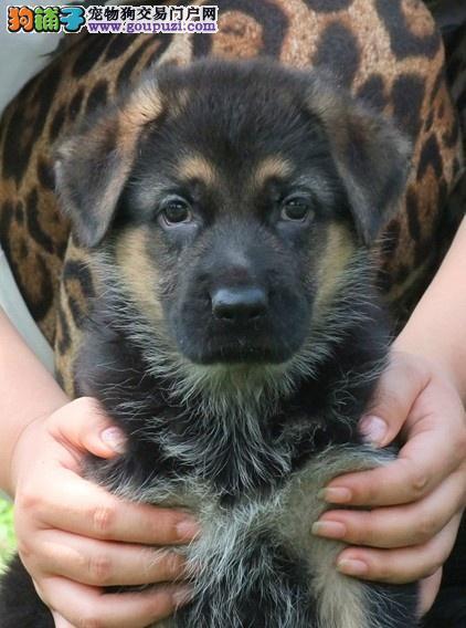 专业繁殖基地出售 狼犬 可签协议 包纯种健康