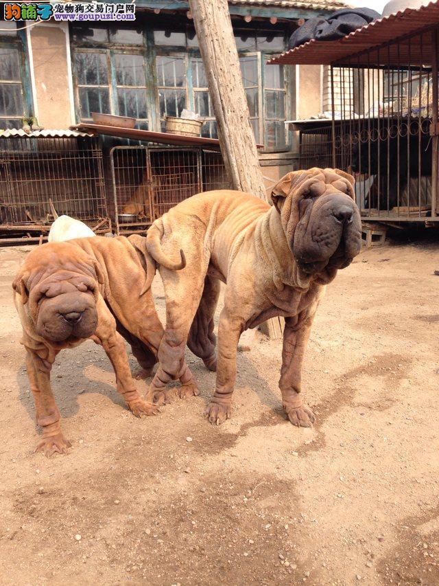 出售沙皮犬 底价热卖签协议质保100天