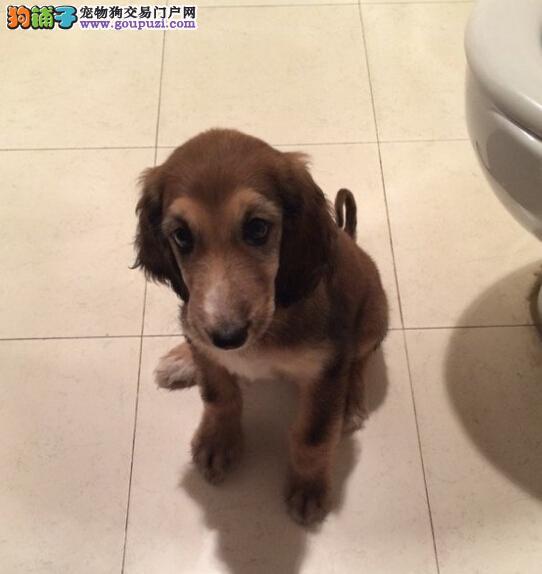 犬舍饲养阿富汗猎犬精品犬 可签协议 诚信热卖底价出售