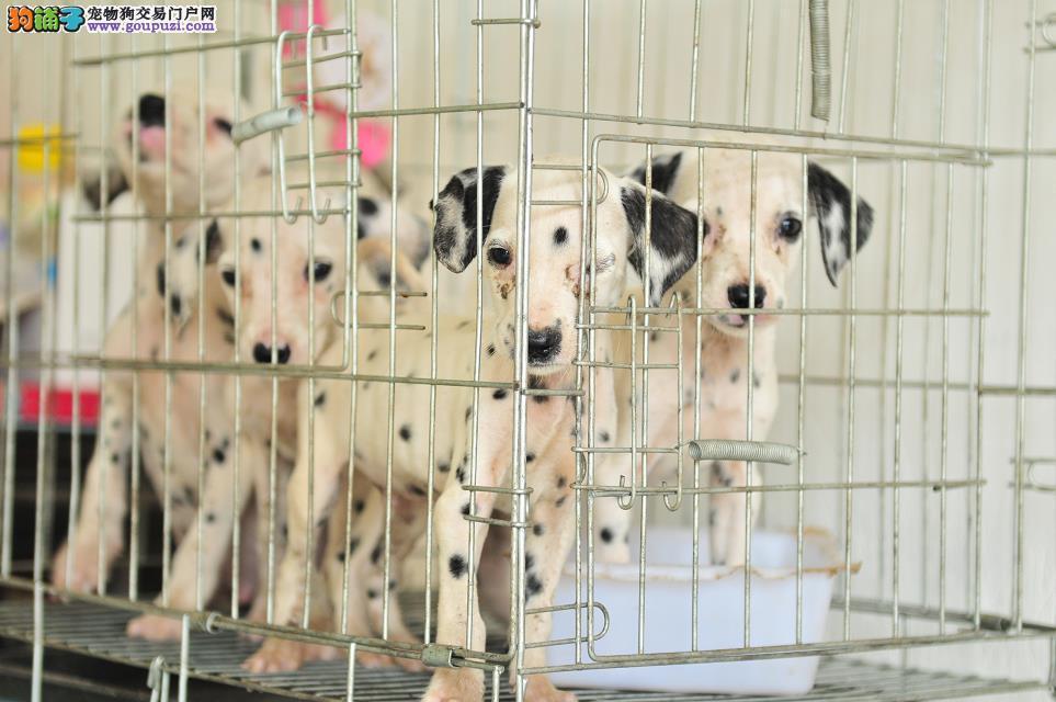 斑点狗幼犬可以看到狗爸妈保证健康可签协议