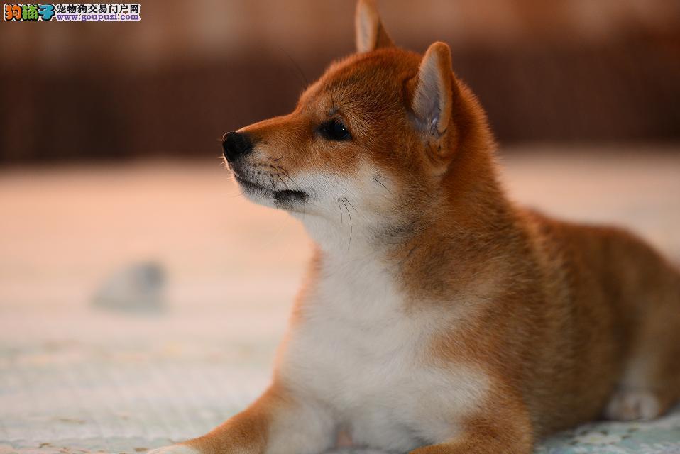 出售纯种柴犬 自己繁殖 高品质 包纯种健康