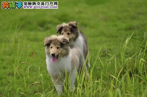 出售纯种苏格兰牧羊犬,保证健康,可上门挑选
