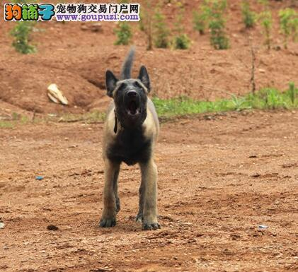 出售高品质纯种昆明犬 优选犬舍品质保证