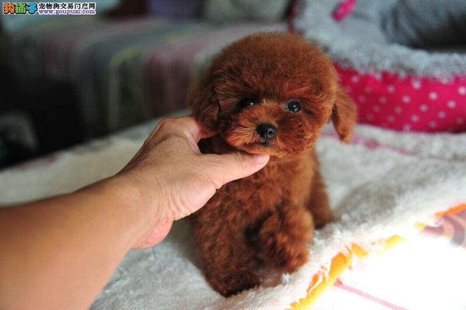 健康宠物 好养是硬道理 精品泰迪熊 包健康 包纯种