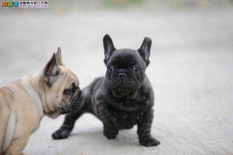 明星都在养的法国斗牛犬,签合同包一年退换