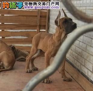 专业繁殖大丹幼犬 三个月大丹幼犬出售