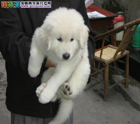 高品质漂亮大白熊宝宝 已做疫苗驱虫 健康质保