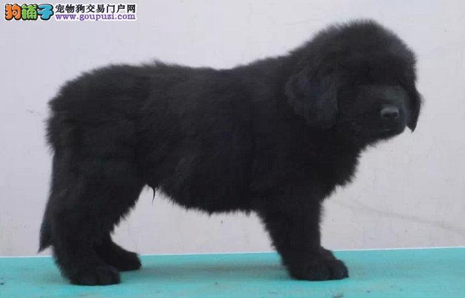 出售纯种纽芬兰幼犬 狗狗活泼可爱 包健康