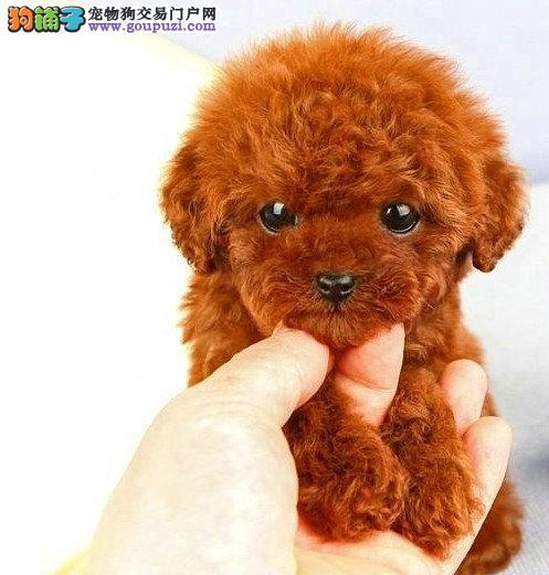 娇小,玩具泰迪熊,孩子的最爱,红色,咖啡色,灰色