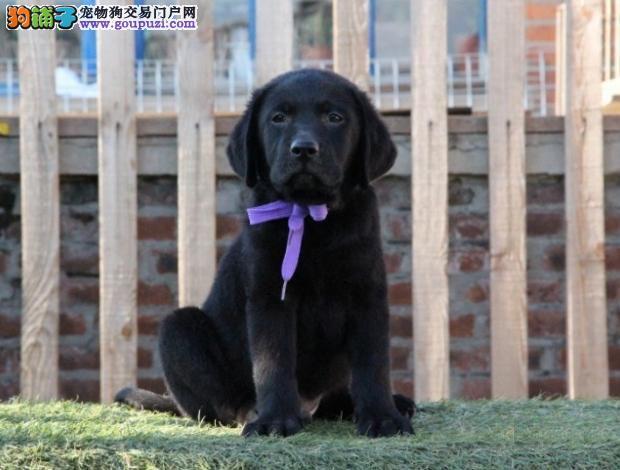 正拉布拉多幼犬出售,优惠价,多只挑选,品相一流