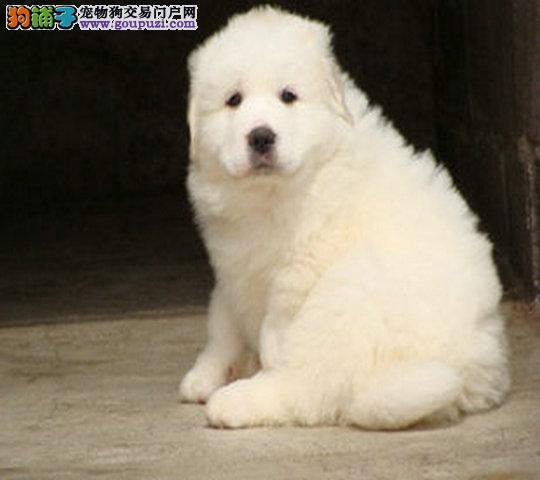 大白熊幼犬 王者风范 品相纯正 保证健康
