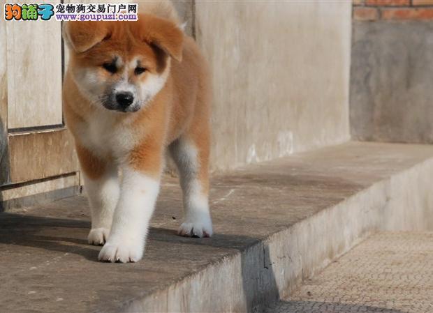 出售纯种赛级秋田幼犬 火爆销售中 快来选购吧