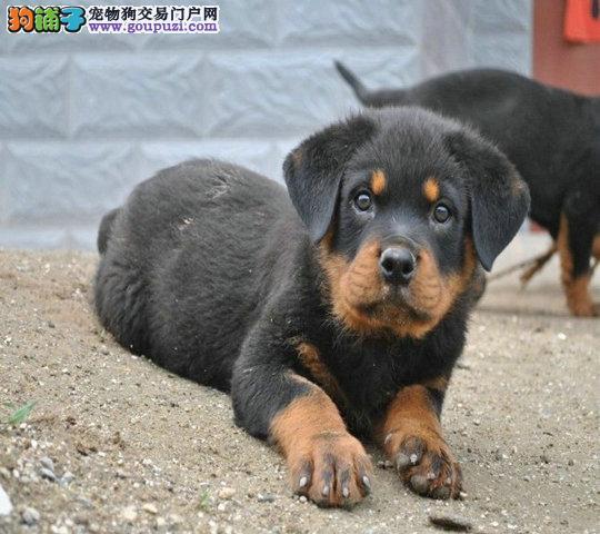 专业出售罗威纳极品幼犬 包品质
