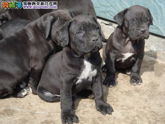 出售强壮凶猛的卡斯罗幼犬宝宝、懂人性