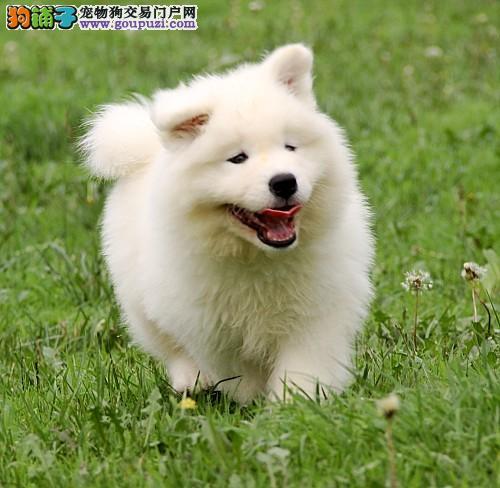 萨摩耶犬大概多少钱萨摩耶哪里出售萨摩耶图片