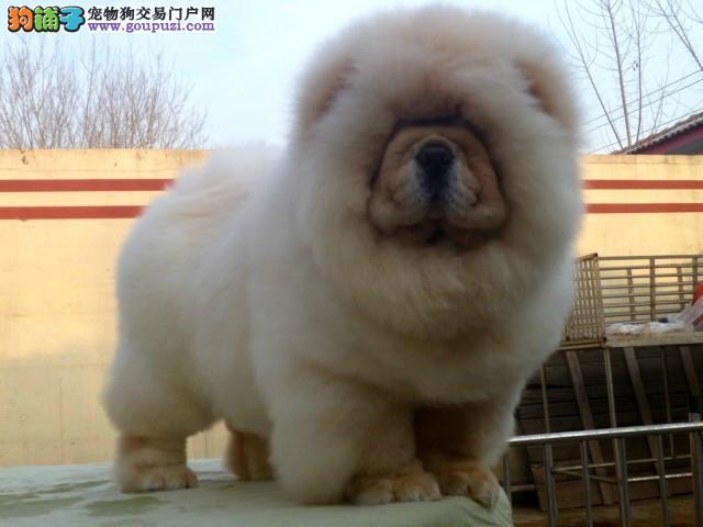 高品质松狮幼犬出售 松狮犬 纯种健康