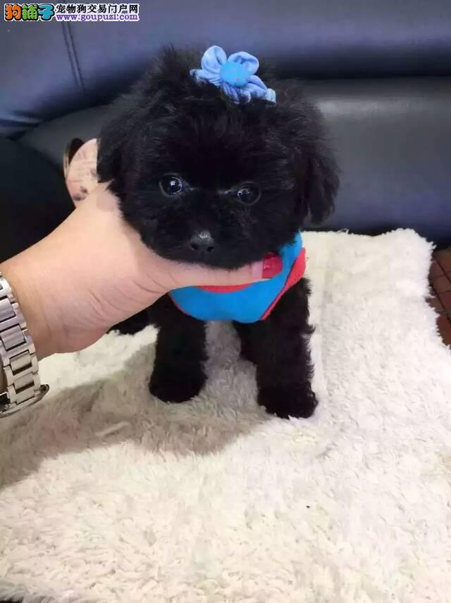 泰迪犬大概多少钱泰迪哪里出售泰迪图片