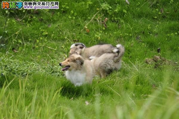 纯种苏格兰牧羊犬 赛级血统 品相完美 品质保证