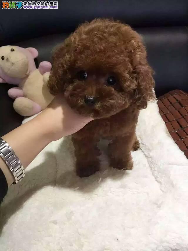 小泰迪熊幼犬 保纯种健康 家养繁殖随时可上门看狗
