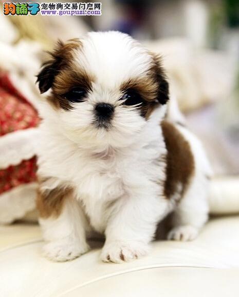出售纯种西施犬幼犬/迷你西施犬/疫苗驱虫做好