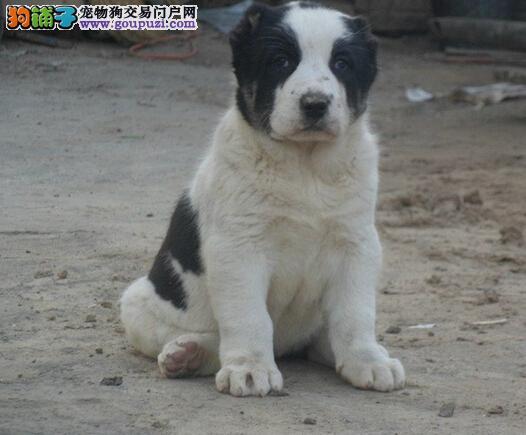 狗场繁殖三个月中亚牧羊犬出售