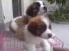 出售纯种圣伯纳幼犬保健康保纯种