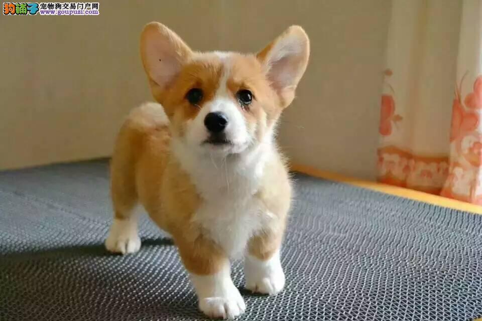 出售三个月柯基幼犬 专业繁殖柯基宝宝
