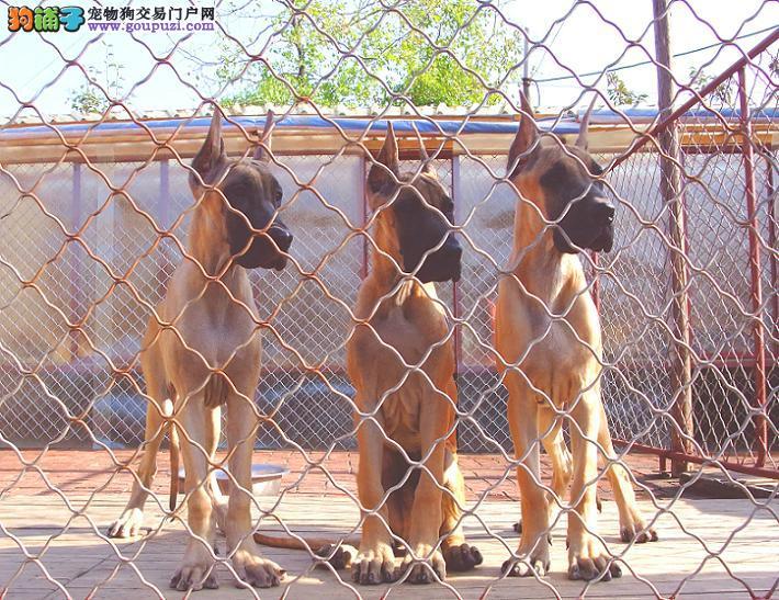 出售大丹犬三个月大丹幼犬出售