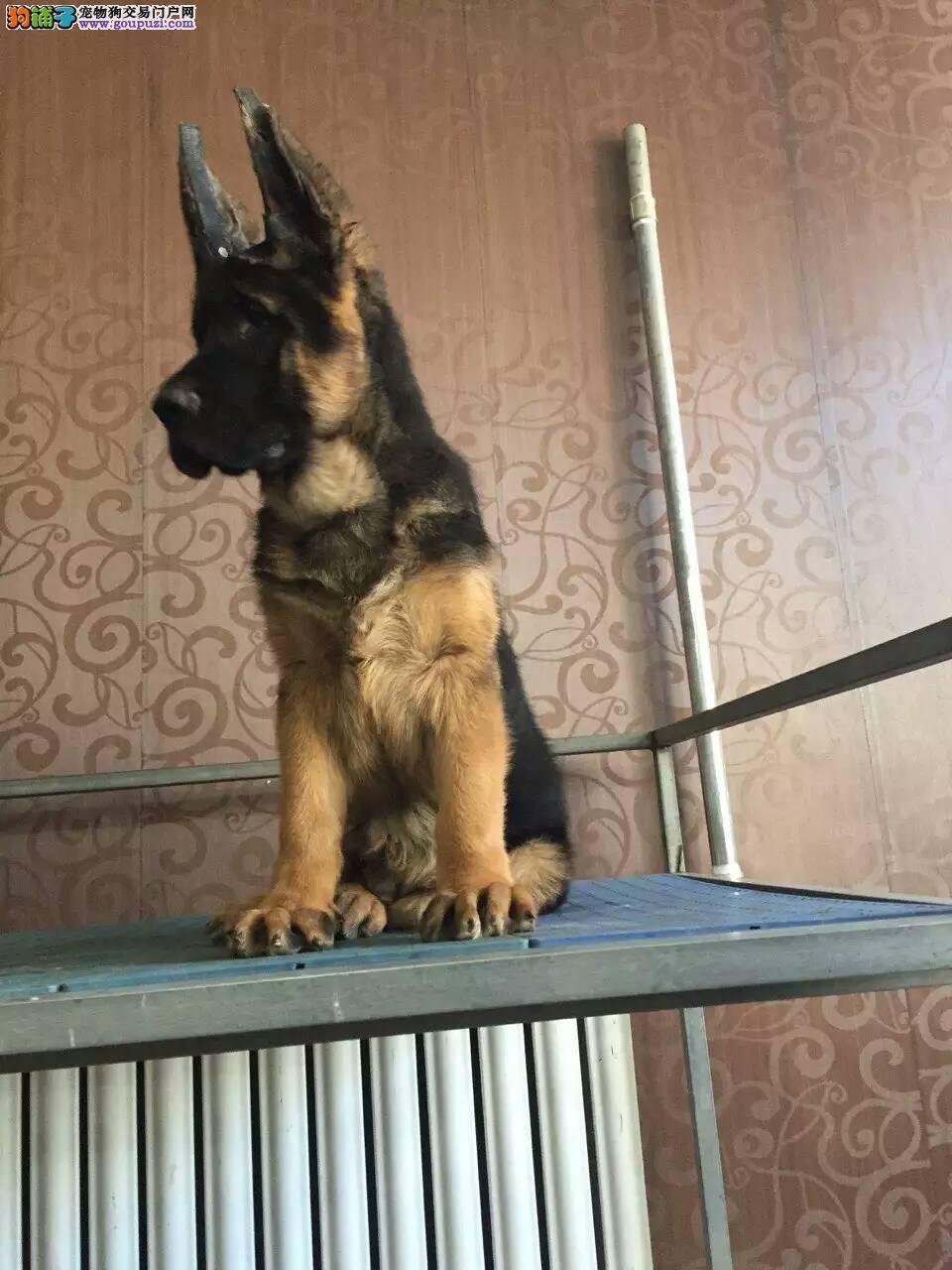 出售三个月狼狗 专业繁殖狼狗