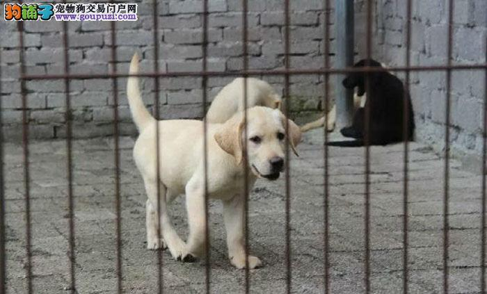 自家养殖超可爱拉布拉多犬 品相好 疫苗齐全