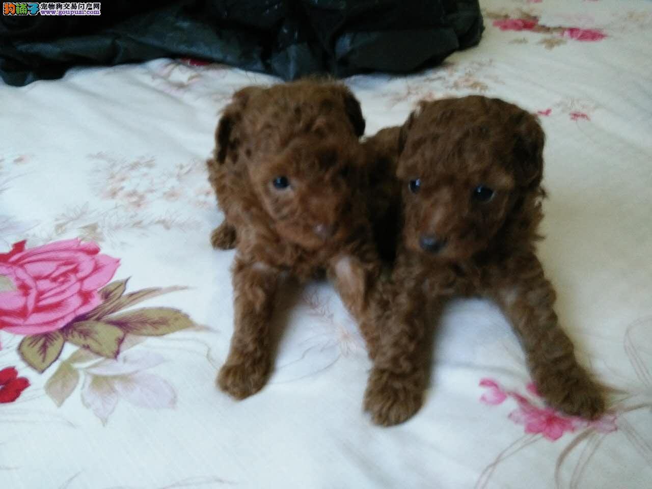 家养满月小泰迪两只,母,可上门看狗