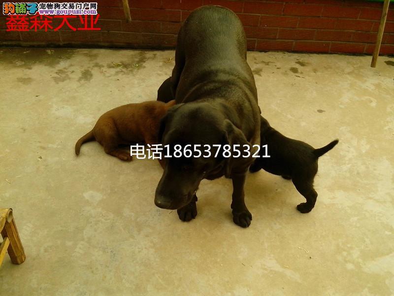 出售纯种拉布拉多成年犬及幼犬